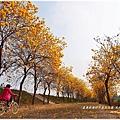 新港朴子溪防汛道.黃風鈴木
