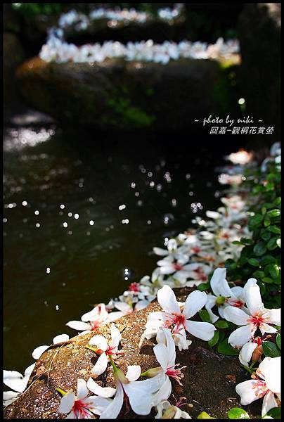 園林仔社區桐花