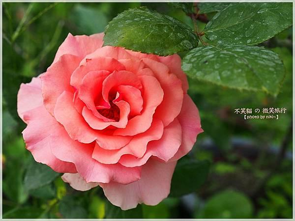 大花有機玫瑰農場