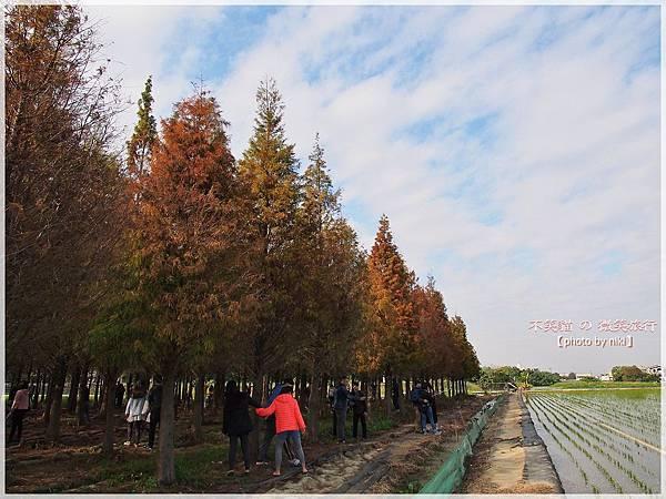 菁埔埤溼地步道_落羽松森林