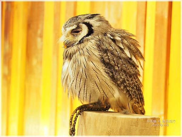 大阪貓頭鷹咖啡Happy Owl Cafe Chouette