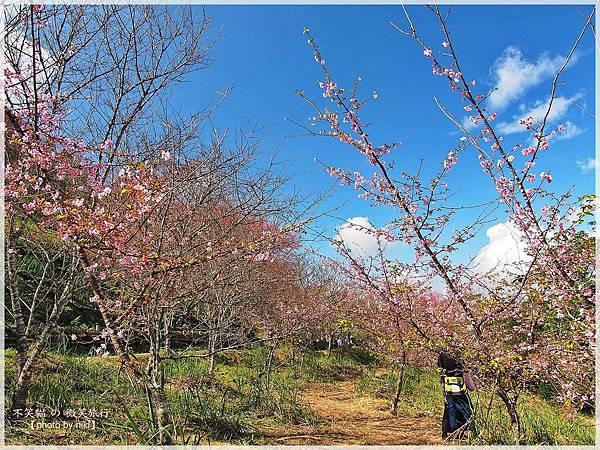 高雄賞櫻旅遊景點_寶山二集團櫻花公園
