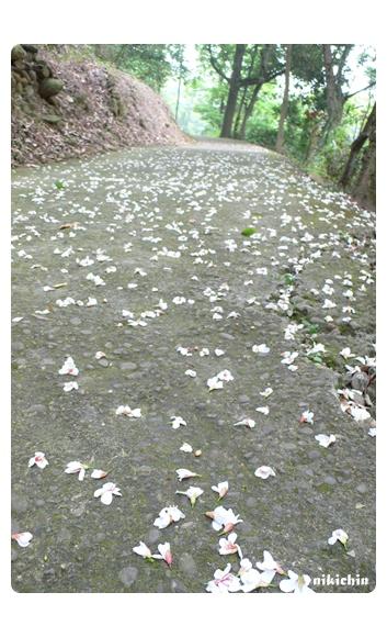 20110429_桐花-03.jpg