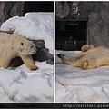 旭川動物園_北極熊打滾.jpg