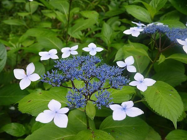 繡球花種類