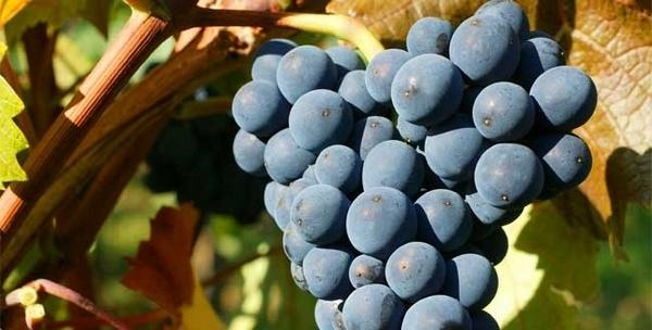 Pinot-Noir_600