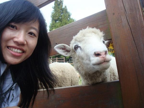 清境的羊2.jpg