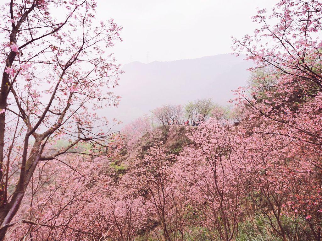 三峽熊空櫻花林23-5.jpg