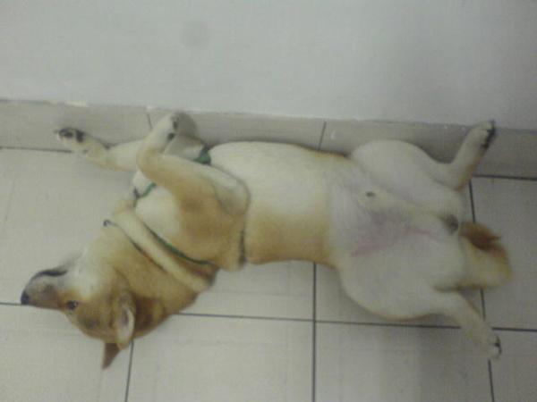 好像很多柴犬都會這樣睡