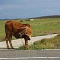 路邊的牛ㄦ