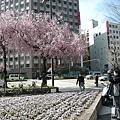 再來一張櫻花..