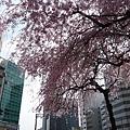街道上的櫻花