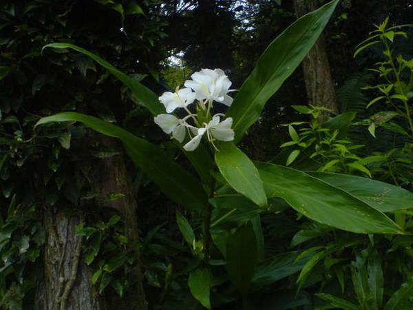 香氣撲鼻的野薑花