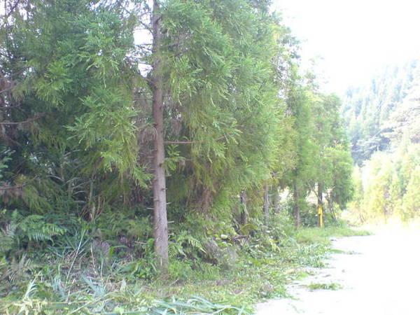 蜿蜒上山後發現植被慢慢有了轉變,出現針葉林
