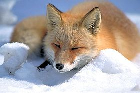 280px-Vulpes_vulpes_laying_in_snow.jpg