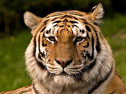 250px-Siberischer_tiger_de_edit02.jpg
