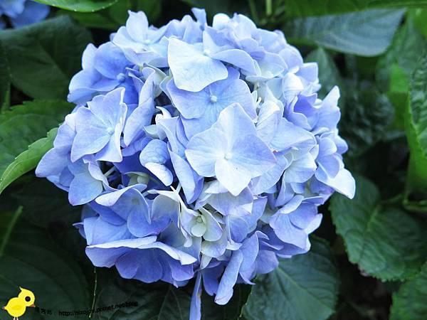 【台北 旅遊】陽明山-隱藏在步道中的花團錦簇