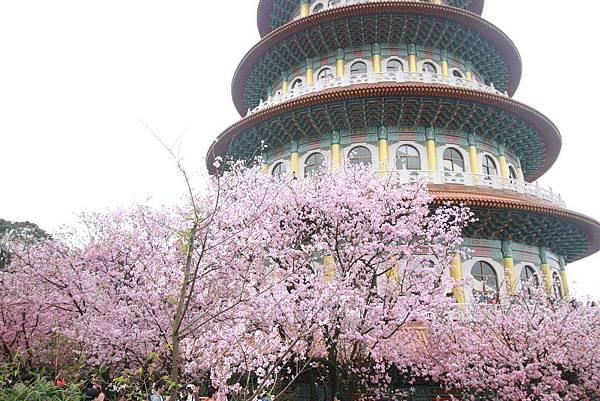 【台北淡水】淡水天元宮櫻花-三月櫻花盛開綻放