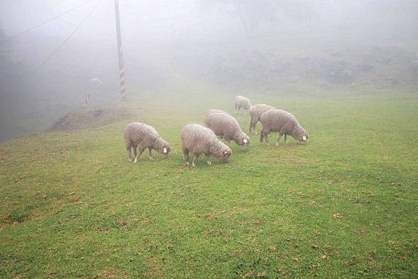 清境農場-青青草原-近距離體驗羊咩咩