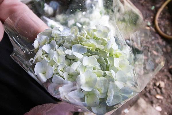 【台北旅遊】陽明山繡球花季-滿坑滿谷的繡球捧花-2015年05月花況