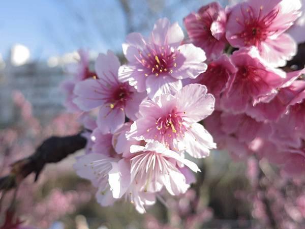 【台北旅遊】內湖康樂街61巷內溝溪景觀生態步道-2016年2月櫻花盛開
