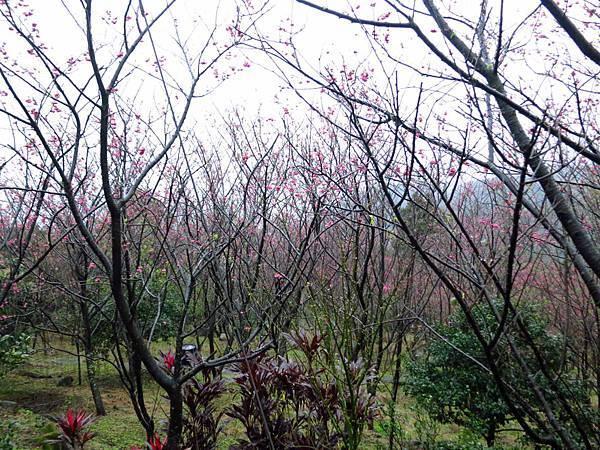【台北旅遊】楓樹湖-2016年3月櫻花盛開、水蓮花