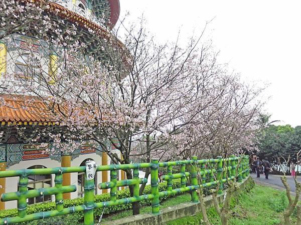 【台北旅遊】淡水天元宮-2016最新櫻花盛開資訊