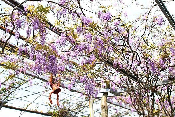 【台北旅遊】台北花卉村-美麗的紫藤花季