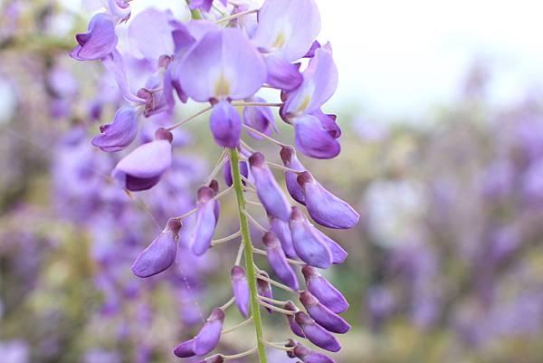 【台北旅遊】淡水紫藤花咖啡園-紫藤綻放紫色夢幻