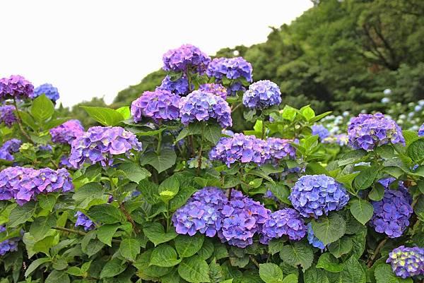 【台北旅遊】陽明山高家繡球花季-滿遍的花團錦簇