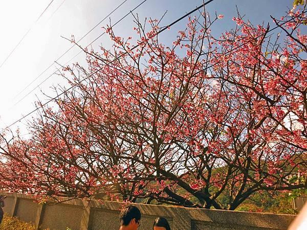 【台北旅遊】2017陽明山平菁街42巷櫻花盛開
