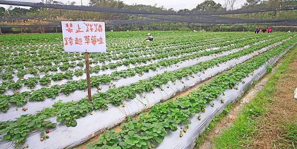 【新竹旅遊】2017長鑫莓果農園-採草莓季來囉!