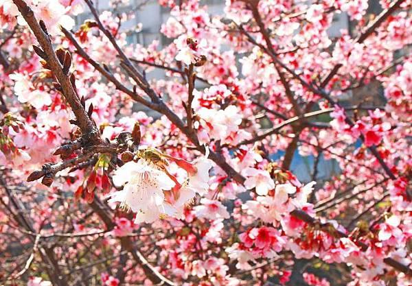 【台北旅遊】2017內湖樂活公園櫻花盛開-不用爬山也能觀賞櫻花景點-最新花況資訊