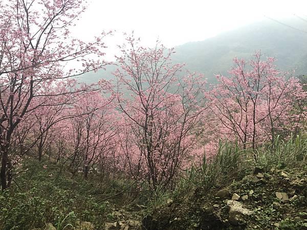 【台北旅遊】三峽熊空櫻花季-美麗的櫻花朵朵綻放