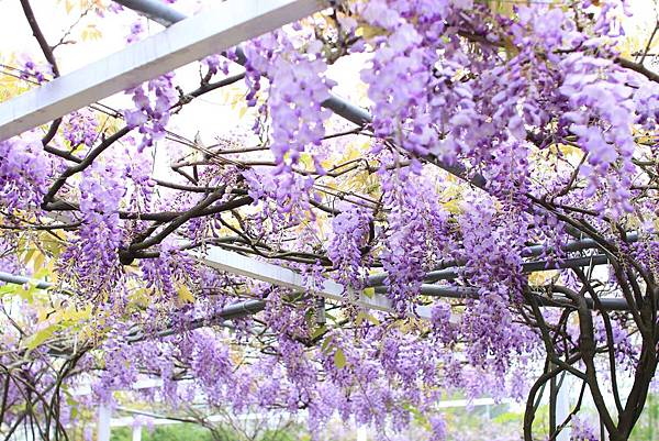 【台北旅遊】2017淡水紫藤花咖啡園-紫藤綻放紫色夢幻