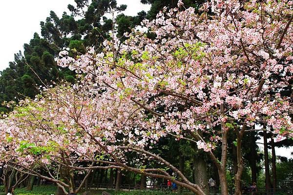 【台北旅遊】中正紀念堂-坐捷運就能看到櫻花