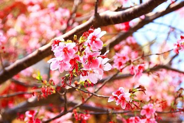【林口櫻花】竹林山觀音寺-美麗的櫻花朵朵綻放