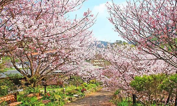 【台北旅遊】內厝溪櫻木花廊-陽明山上的美麗櫻花步道
