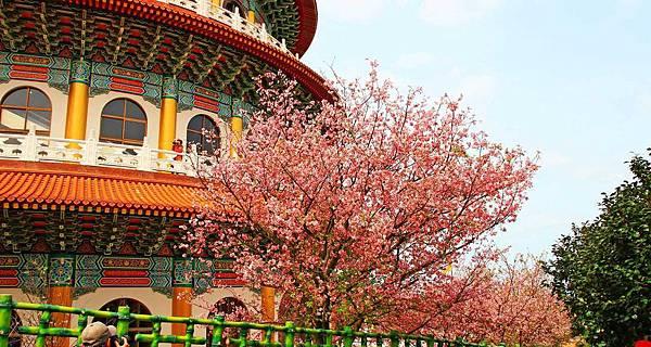 【台北景點】2017淡水天元宮櫻花季-現在正是賞花最好時機