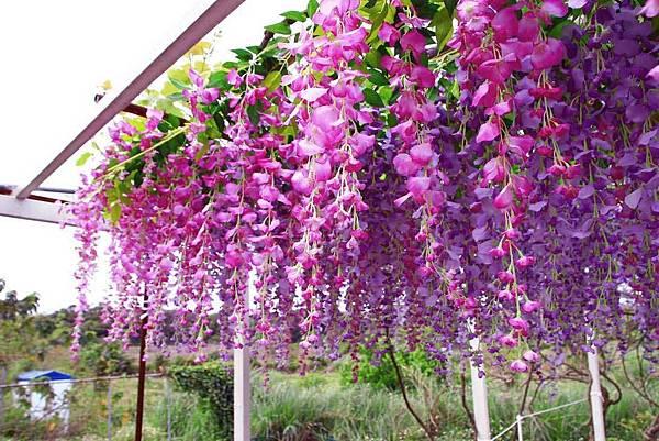 【台北景點】紫藤咖啡園-欣賞整片紫藤花最佳景點
