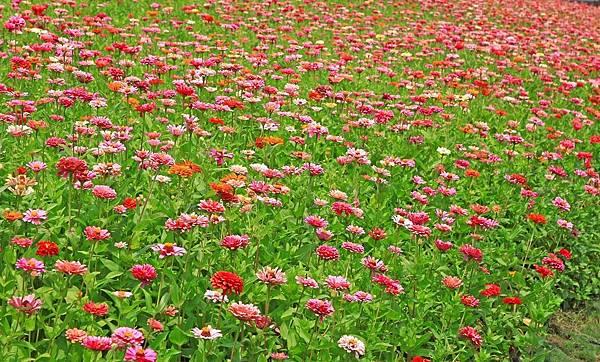 驚艷關渡花現新大地2017關渡花海節-美麗動人的花海景觀