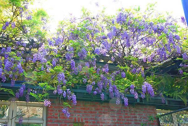 【台北旅遊】2018台北花卉村-美麗的紫藤花季-免門票
