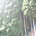我喜歡針葉林