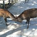 兩隻公鹿在鬥