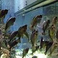 這些魚不知道為什麼一直保持這個姿勢不知道在看什麼