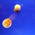 以下是水母
