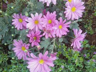 粉紅菊--生命力超強的....