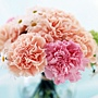 Carnation_flower_photo__14007[1].jpg
