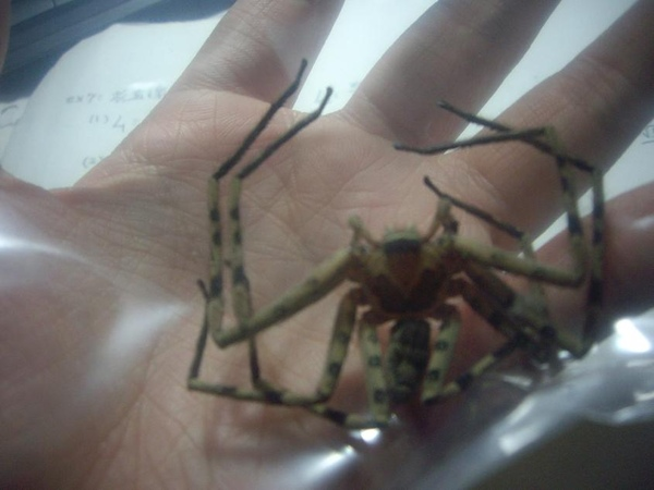 2008/12/12 白額高腳蜘蛛