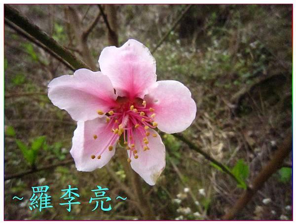 桃花朵朵開 005.jpg
